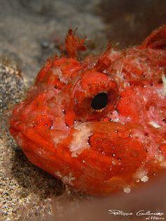 Black scorpionfish--Scorpaena porcus