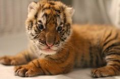 My #1 dream in life is to hold a tiger cub.
