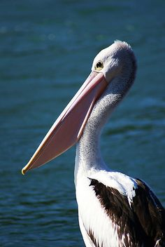 Sargent of the Squadron #pelican, #bird, #photography