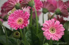 Gerbera Garvinea 'Sweet Surprise' ('Garsurprise') (Garvinea Sweet Series) Cut Flowers, Pink Flowers, Beneficial Insects, Chelsea Flower Show, Different Flowers, Colorful Garden, Salvia, Gerbera, Container Plants