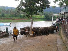Elephants after bathing in Pinnawala, Sri Lanka