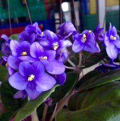 Violeta africana en una floristería. Asunción-Paraguay