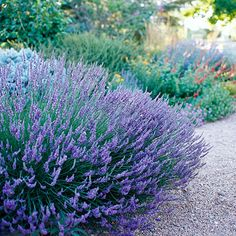 Lavender is the perfect xeriscape plant - it's gorgeous and of course the smell is divine! #xeriscape #lavender