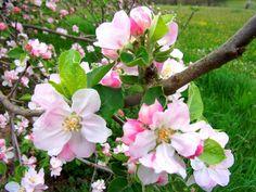 Appelboom Bramleys Seedling - Malus Domestica http://pratec.nl/product-categorie/bomen/?filtering=1&filter_naam=285 De boom geeft over het algemeen een grote fruit opbrengst, een mooie sterke fruitboom voor in uw eigen boomgaard of landschappelijke tuin.