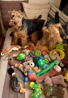 Too many toys... Welsh Terriers