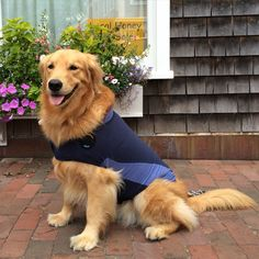 Sa Jul 18, 2015 Petticoat Row Nantucket, our ritual for Papa's morning buns and cheese danish. On way now to the ferry to go collect my brother from camp. I can't wait to see him he will be so surprised to see me. Notice I have my new Thundershirt on. It's supposed to calm me while I ride on the ferry.