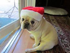 Waiting for Santa   (Pepin the French Bulldog)