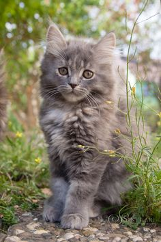 Cuteness is subjective Or maybe we're just conditioned to think of cats as cute. Cuteness is a matter of taste. Love Dogs, I Love Cats, Cool Cats, Nature Animals, Animals And Pets, Cute Animals, Fluffy Kittens, Cats And Kittens, Small Cat Breeds