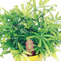 Mayii Fern- One of over 400+ varieties from Exotic Angel Plants®