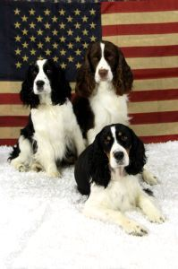 Piper's Springers - English Springer Spaniels