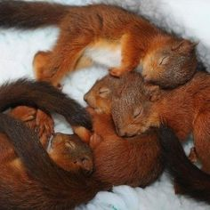 Red Squirrels Sleeping  ♡    ♡    ♡  ... - L'Assommoir