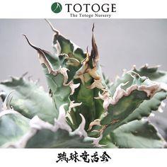 立て直して綺麗に育てていくのも園藝。 #竜舌会 #琉球竜舌会 #チタノタ革命 #agave #totoge