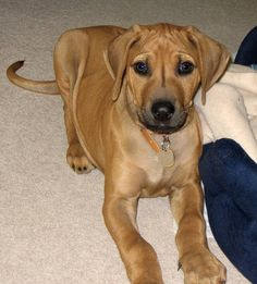 my future badass puppy! Rhodesian Ridgeback Puppies, Loyal Dogs, Puppy Pictures, New Puppy, Cute Dogs, Labrador Retriever, Doggies, Badass, Future