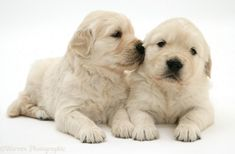 Cute Golden Retriever puppies ❤❤ #GoldenRetriever #Puppies #Love #Dogs