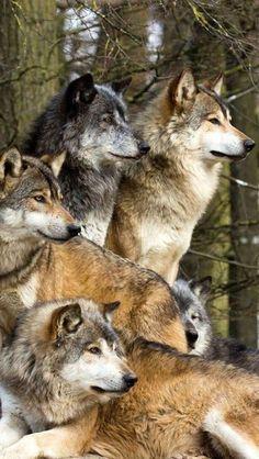 Wolves, Family, Wildlife