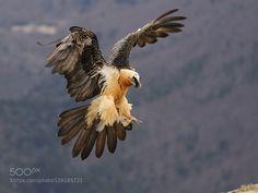 lammergeier Career Option: become a bearded vulture Pretty Birds, Beautiful Birds, Animals Beautiful, Nature Animals, Animals And Pets, Cute Animals, Exotic Birds, Colorful Birds, Animal Original