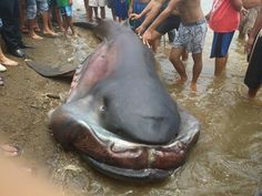 "Megamouth"" Shark went ashore in Cagayan De Oro, Misamis Oriental. Photos courtesy of: Pry Rockwell"