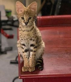 savannah cats - Savannah Cat - Ideas of Savannah Cat - savannah cats The post savannah cats appeared first on Cat Gig. Kittens Cutest, Cats And Kittens, Cute Cats, Big Cats, Savanna Cat, Exotic Cats, Exotic Fish, Small Wild Cats, Gatos