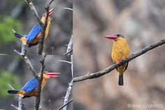 Stork-billed Kingfisher