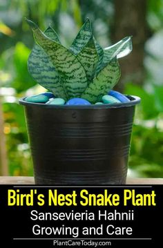 Bird's nest snake plant (Sansevieria hahnii), short inches, grows in a rosette manner, excellent low light bedroom plant, survives abuse. (CARE INFO) Bird's Nest Snake Plant [Sansevieria Hahnii] Growing and Care Pl Indoor Gardening Supplies, Container Gardening, Gardening Tips, Container Plants, Garden Plants, Indoor Plants, Indoor Flowers, Snake Plant Care, Flower Pot Design