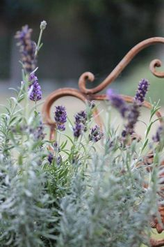 I will always remember the Lavender fragrance in the country garden. Lavender Cottage, Lavender Blue, Lavender Fields, Lavender Flowers, Flowers Garden, Growing Lavender, Herbs Garden, French Lavender, Beautiful Gardens