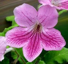 Cape Primrose or Streptocarpus is an Easy Flowering Houseplant Primrose Plant, Tapestry Nature, Plant Identification, Free Plants, Horticulture, Houseplants, Lawn, Home And Garden, African Violet