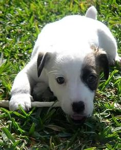 Jack Russell Terrier - A Dog in One Pack - Champion Dogs I Love Dogs, Cute Dogs, Awesome Dogs, Bull Terrier Dog, Terrier Mix, Terriers, Jack Russell Terrier, Family Dogs, Training Your Dog