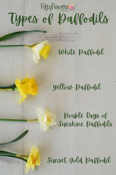 These star-shaped blooms with long, trumpet-like petals are a springtime staple! Browse through our beautiful selection of bulk daffodils offered in shades of yellow and white. Yellow Wedding Flowers, Yellow Flowers, Fresh Flowers, Spring Flowers, Fifty Flowers, Flower Food, Spring Weddings, Shades Of Yellow, Star Shape