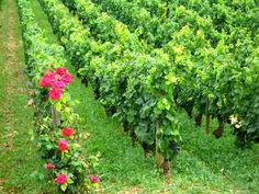 Vineyard Roses outside Beaune, France
