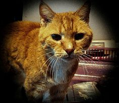 "My orange tabby, Rico. I call him ""The Old Man"" because he's pushing about 22 yrs old."