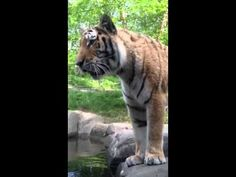 Tigers At The Bronx Zoo <3