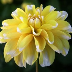bush height): bright yellow leaves with just the smallest touch of white at the tips. It is considered a waterlily variety of Dahlia.