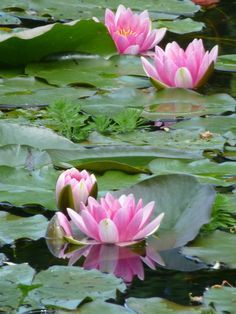 Pink waterlilies in the pond at Giverny, France. Garden by Claude Monet.