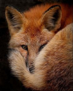 Red Fox all snug with its luxurious tail (brush) for warmth! The fur looks best on the fox! Cute Baby Animals, Animals And Pets, Wild Animals, Strange Animals, Black Animals, Forest Animals, Beautiful Creatures, Animals Beautiful, Beautiful Beautiful