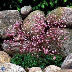 SAXIFRAGA urbium 'Elliot's Variety' - Porcelænsblomst, farve: mørk rosa, lysforhold: sol/halvskygge, højde: 20 cm, blomstring: maj - juni, god til bunddække.
