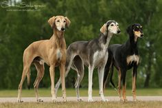 Variation: Like a box of chocolates - pick your favorite Breed: Saluki