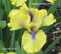 SdbWeeGrannySmith < Sdb < Iris Wiki Dwarf Iris, Iris Garden, Bloom, Gardening, Green, Plants, Lawn And Garden, Plant, Planets