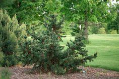 Pinus aristata - Bristlecone Pine The world's oldest living tree (4500 years). Resinous dark green needles on irregular habit make it a garden gem. Full sun. 3'/10yrs (Dwarf)