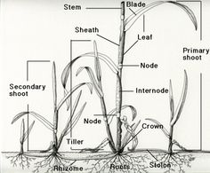 plant shoot tips - Google Search