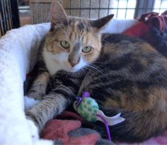 Ellie Mae is a very pretty calico who is currently available for adoption at Petvalu in Lumberton,...