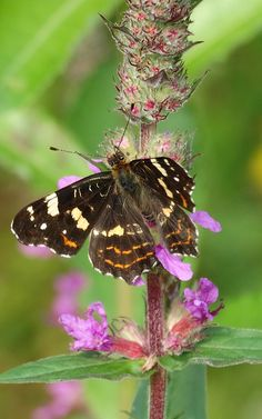 Map Butterfly( Araschnia levana) Landkaartje 2de generatie (Photo by Jerdek©)