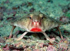 Pez Murciélago de labios Rojos.  se posa y se mueve sobre sus aletas en fondos de arena o grava. Desde 36 m (120 pies), normalmente más pr...