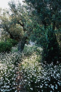 <strong>BLOOM SERVICE</strong> | Behind the house, olive trees in a terraced garden are underplanted with fragrant white gaura, or beeblossom. A path leads to a dining area under the Lindos acropolis.