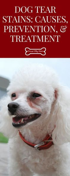 Dog Tear Stains: Causes, Prevention, and Treatment | Dog Grooming Tips |