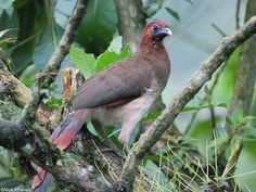 Rufous-headed Chachalaca (Ortalis erythroptera) by Nick_Athanas