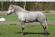 Icelandic Horse - stallion Trostan från Järsta