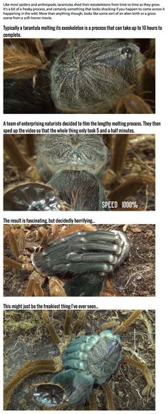 This Is What A Molting Tarantula Looks Like, And It's The Stuff Of Nightmares.