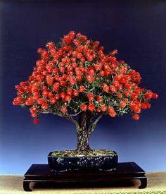 Cultivo de bonsai para iniciantes                                                                                                                                                     Mais                                                                                                                                                                                 Mais