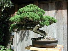 50_bonsai_tree.jpg (400×300)