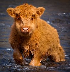 Bear in River Taff,No it's a Calf ;) (by Vale Boy) Quelle: Flickr / valeboy #animals #calf #cute #nature